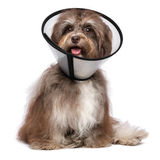 Happy grateful havanese dog is recovering and wearing a funnel c. Sick and happy chocolate havanese dog with a funnel collar will be healthy soon again, isolated stock images
