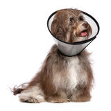 Happy grateful havanese dog is recovering and wearing a funnel c. Sick and happy chocolate havanese dog with a funnel collar will be healthy soon again, isolated stock photos