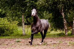 Happy gray horse running free in summer Stock Photos
