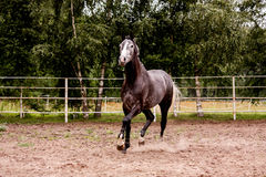 Happy gray horse running in paddock in summer Stock Images