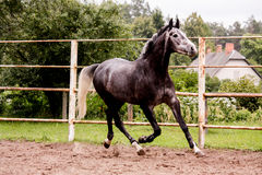 Happy gray horse running in paddock in summer Stock Photo