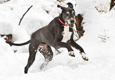Happy Great Dane. Great Dane playing in the snow Royalty Free Stock Images