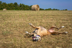 Happy Great Dane rolling in grass in front of hay bale Royalty Free Stock Image