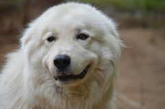 Happy Great Pyrenees big smile Royalty Free Stock Image