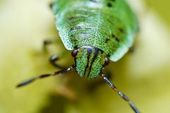 A happy green bug Royalty Free Stock Photo