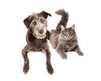 Happy Grey Cat and Dog Laying Together. Happy and smiling grey color cat and mixed breed dog Royalty Free Stock Photos