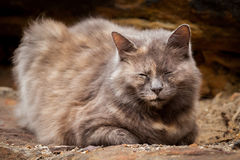 Happy Grey and Ginger Long-Haired Tortoiseshell Cat Sitting on a Royalty Free Stock Photo