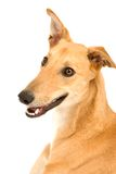 Happy Greyhound. A tan greyhound sitting against a white background royalty free stock photography