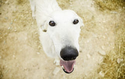 Happy Greyhound Royalty Free Stock Image