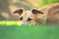 Happy greyhound outdoor in the grass. Happy young brown greyhound enjoying the nature Stock Image