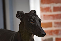 Happy greyhound outdoor in the grass. Happy young brown greyhound enjoying the nature Royalty Free Stock Photography