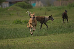 Happy greyhounds on a field in Argentina. Happy greyhounds running on a field in Argentina Royalty Free Stock Photography