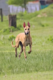 Happy greyhounds on a field in Argentina. Happy greyhounds running on a field in Argentina Royalty Free Stock Images