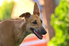 Happy greyhounds on a field in Argentina. Happy greyhounds running on a field in Argentina Stock Images