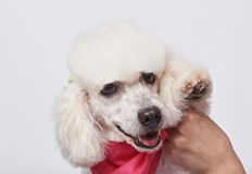 Happy groomed white poodle Stock Photo