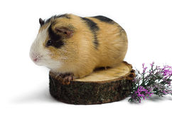 Happy guinea pig on a white background Royalty Free Stock Images