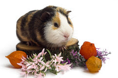 Happy guinea pig on a white background Stock Photo