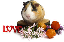 Happy guinea pig on a white background Stock Photography
