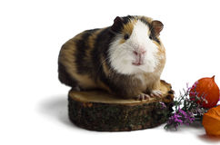 Happy guinea pig on a white background Royalty Free Stock Photos