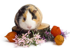 Happy guinea pig on a white background Stock Images