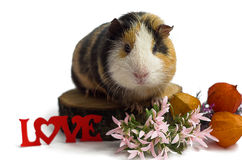Happy guinea pig on a white background Royalty Free Stock Photo
