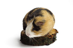 Happy guinea pig on a white background Stock Photos