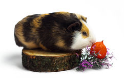 Happy guinea pig on a white background Royalty Free Stock Photography