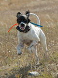 Happy Gun Dog Royalty Free Stock Image