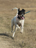 Happy Gun Dog Stock Image