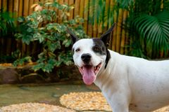 Happy half boxer half Japanese spitz dog. In the garden stock photography