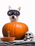 Happy Halloween Dog Stock Image