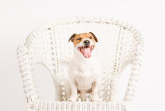 Happy handsome yawing purebred dog posing at studio Stock Image