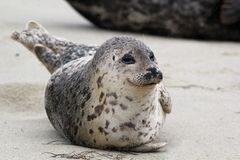 Happy Harbor Seal Stock Photo