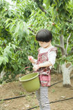 Happy harvest. The little girl is picking cherries Royalty Free Stock Photos