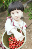 Happy harvest. The little girl is picking cherries Royalty Free Stock Image