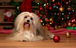 Happy Havanese dog in front of a Christmas tree royalty free stock photo