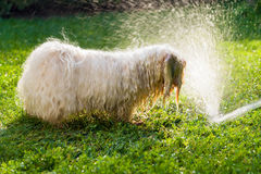 Happy Havanese dog is playing with a water beam Royalty Free Stock Images