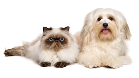 Happy havanese dog and a young persian cat lying together Stock Photos
