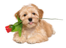 Happy havanese puppy with an artificial red rose. Happy lover havanese puppy dog lying with an artificial red rose in her mouth, isolated on white background stock images