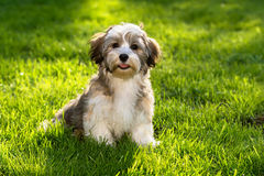 Happy havanese puppy dog in the grass stock photo