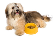 Happy Havanese puppy with her favorite dry food. Happy Bichon Havanese puppy dog is lying next to her favorite dry food - isolated on white background royalty free stock images