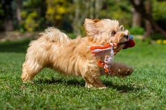 Happy havanese puppy running with her toy in a garden Stock Image