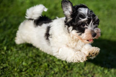 Happy havanese puppy is running and jumping towards camera stock photo
