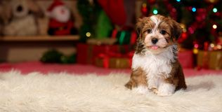 Happy Havanese puppy in front of a Christmas backgroud. Happy Bichon Havanese puppy dog is sitting in front of a Christmas background - banner stock images
