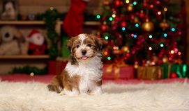 Happy Havanese puppy in front of Christmas background. Happy Bichon Havanese puppy dog is sitting in front of a Christmas tree background royalty free stock photos
