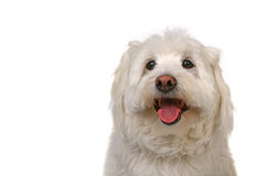Happy Healthy Dog. Happy Go Lucky White Dog Panting on White Background Royalty Free Stock Photo