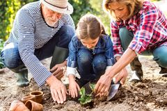 Senior couple with grandaughter gardening in the backyard garden. Happy healthy senior couple with their grandaughter planting a seedling on allotment. Man Royalty Free Stock Photo