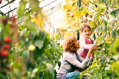 Senior woman with grandaughter gardening in the backyard garden. Happy healthy senior women with her grandaughter harvesting vegetables in greenhouse. Woman and Stock Photo