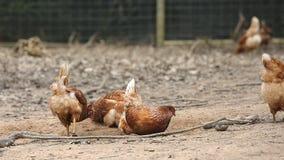 Happy hens stock footage