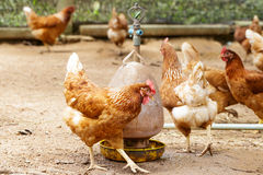 Happy hens in cage free Stock Image